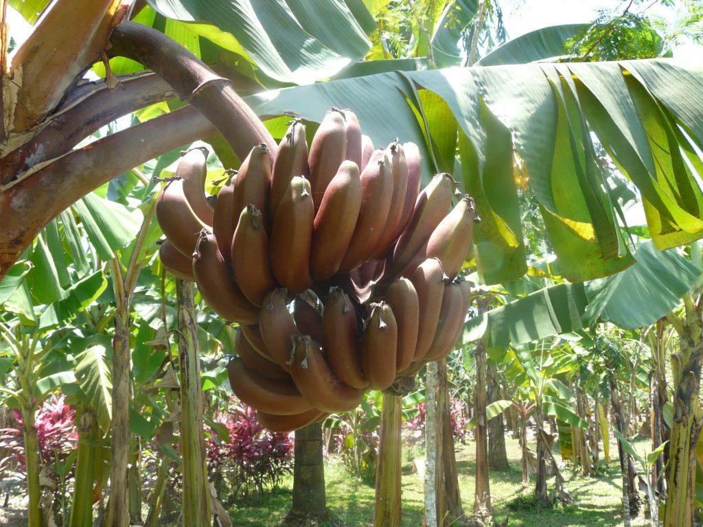 Червени банани