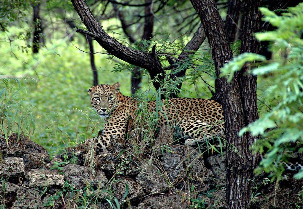 Леопард в Сасан Гир
