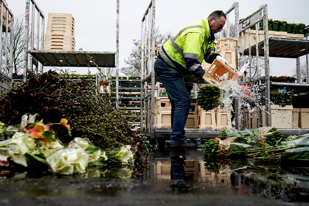 В интернет изобилства от кадри как най-големите и прочути пазари за китки в Нидерландия са принудени да унищожават хиляди букети