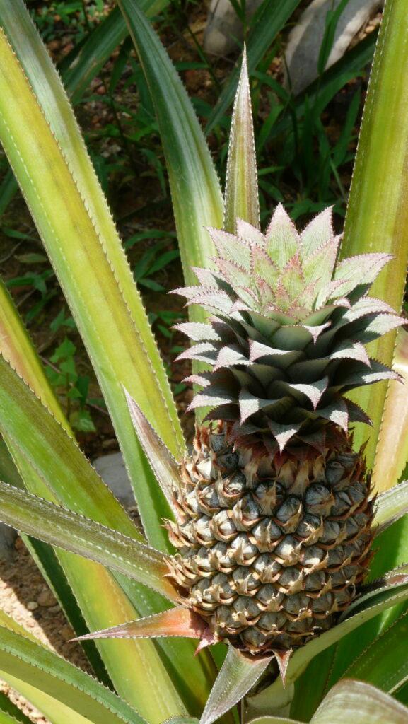 Цяр от шкафа за ароматерапия - розов ананас